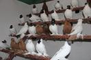Barwnogłówka Królewiecka i Wywrotek Mazurski w moim gołębniku
