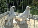 Barwnogłówka Królewiecka biała